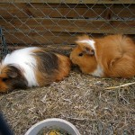Rosettenmeerschwein und Langhaarmeerschwein