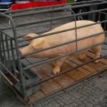 Schwein in Quarantäne???
