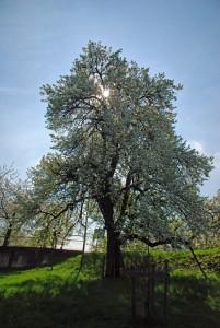 Frühlingsbaum1
