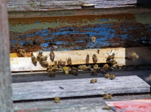 Bienenstock  C-Stratkon